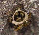 Stingless bee nest