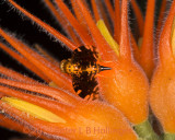 Gall fruit fly on Gurania makoyana