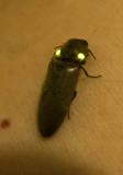 Fire beetle click beetle Pyrophorus