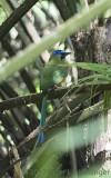Whooping Motmot (Momotus subrufescens)