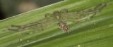Huntsman Spider under leaf