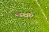 Colorful hopper, dorsal view