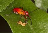 Bug nymph sucking seeds 50