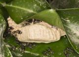Wasp nest under leaf