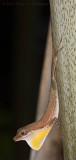 Border Anole -  (Anolis limifrons)