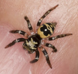 Tiny black and yellow jumper, dorsal
