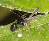 Black jumping spider with crane(?) fly