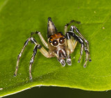 Jumper with orange head and conical tail