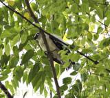 White Hawk (Pseudastur albicollis)