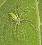 Green Lynx Spider (Peucetia viridans)? 50