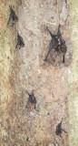 Lesser White-Lined Bat (Saccopteryx leptura)