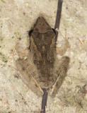 pale tree frog