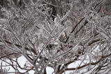 Ice on the Pagoda Tree (Cornus alternifolia)