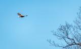 Centerport Eagle