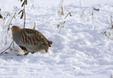 oiseaux terrestres primitifs 3