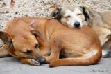Dogs in Cuba