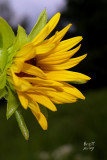 Flicker original_sillac5351b_Compass Plant