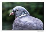 Walter Pigeon