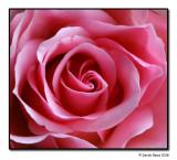Indoor Rose