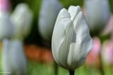 tulipes_2017