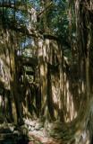 08C-25 Spooky Banyan Tree