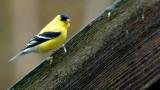 DSC08722 - American Goldfinch
