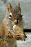 DSC09462 - Squirrel and Peanut