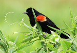 The Season of the Red-winged Blackbird