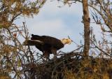 Papa Eagle