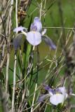 Pale Blue louisiana Native Iris