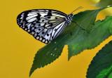 Papillon en liberté 2016