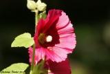 Rose-trémière