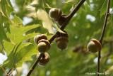 Fruit du chêne