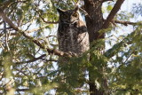 Grand-duc d'Amérique (Great Horned Owl)