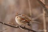 Bruant hudsonnien (American Tree Sparrow)