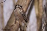 Épervière boréale (Northern Hawk-Owl)