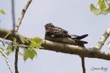 Engoulevent d'Amérique (Common Nighthawk)