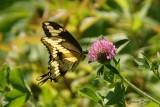 Papillons et chenilles - Butterflies and cartepillars