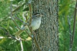Bruant des plaines (Clay-colored Sparrow)