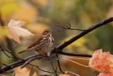 Bruant fauve (Fox Sparrow)