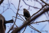 Quiscale rouilleux (Rusty Grackle)