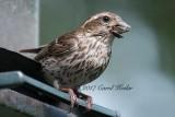 Hungry Purple Finch