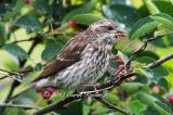Recently Fledged Purple Finch