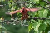 Cardinal Take-Off