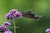 Ruby Throated Hummingbird and Verbena