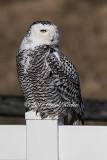 Snowy Owl Surprise
