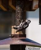 Downy Woodpecker - Pic mineur