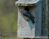 Eastern Bluebird - Merle Bleu de l'Est