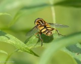 Hover Flies (Family: Syrphidae)