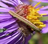 Blackberry looper moth caterpillar  (Chlorochlamys chloroleucaria), #7071